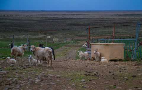 Sheep at Guesthouse Vatnsholt