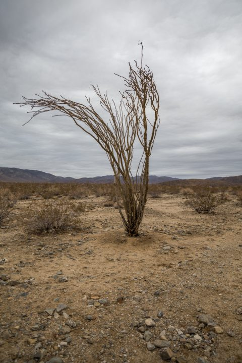 Ocotillo Patch, Joshua Tree National Park